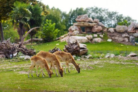 Hjorte i Parco Natura Viva